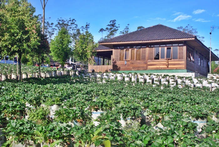 kebun strawberry emte highland resort ciwidey